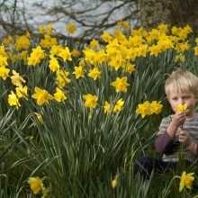 A little boy sat in a field of daffodils celebrating Cornwall in February.
